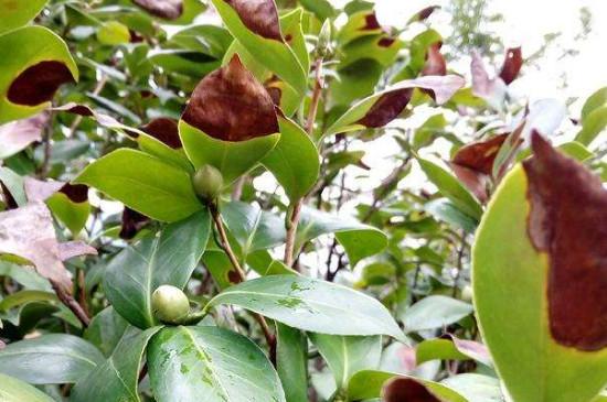山茶花叶子变褐色干枯脱落原因,夏季期间要给山茶花做好遮荫工作