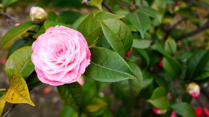 山茶花怎么养  夏季强光的时候要进行遮荫