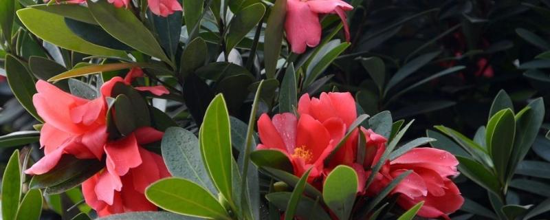 杜鹃红山茶花的养殖方法