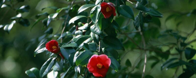 山茶花怎么养 盆土选择是基础