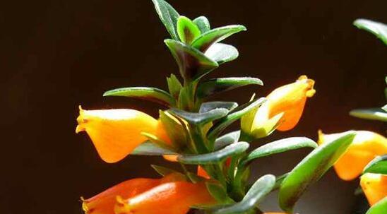 金鱼吊兰什么时候开花,什么原因会导致不开花?