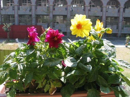 怎样防止盆栽大丽花叶片桔黄、脱落 生长期需阳光充足