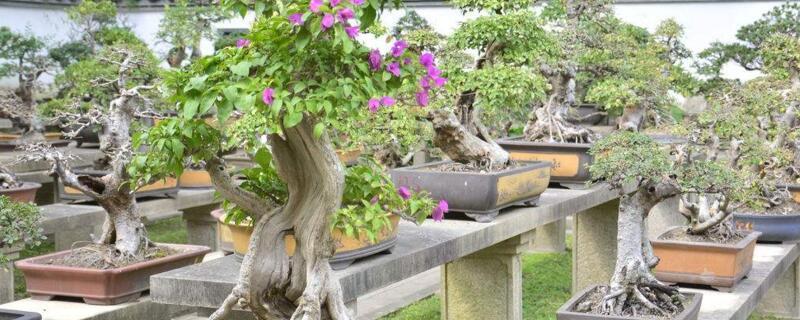 三角梅冬天能开花吗