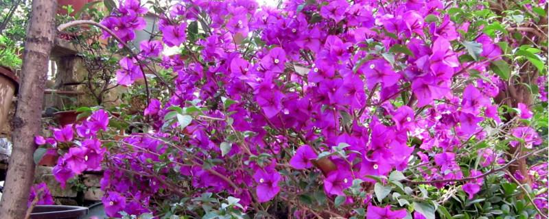 小叶紫三角梅花期