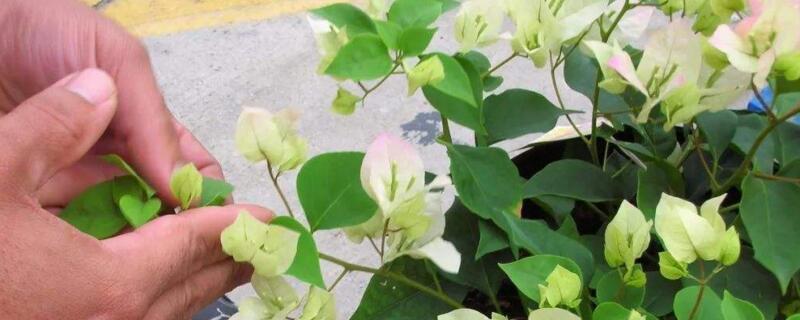 三角梅开花后怎样修剪 将枝条上的残花全部剪除掉