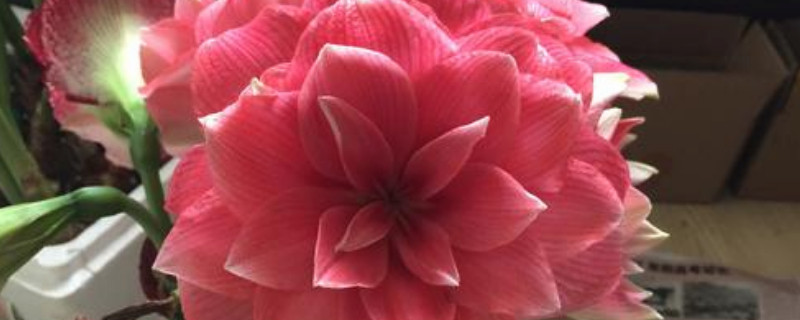 耐寒强的三角梅品种 重瓣红具有很强的耐寒能力