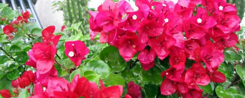 重瓣三角梅经典品种,最经典的品种是重红
