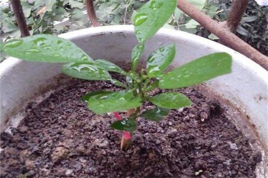 三角梅如何判断生根,将根部周围的土壤松开观察
