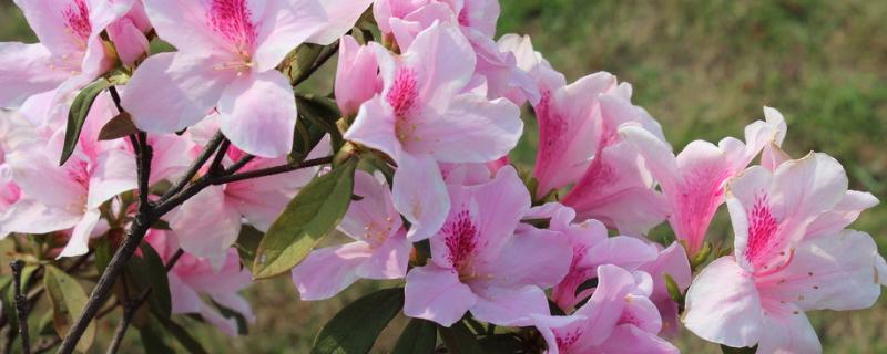 杜鹃花什么时候长新叶?在2~3月长出新叶