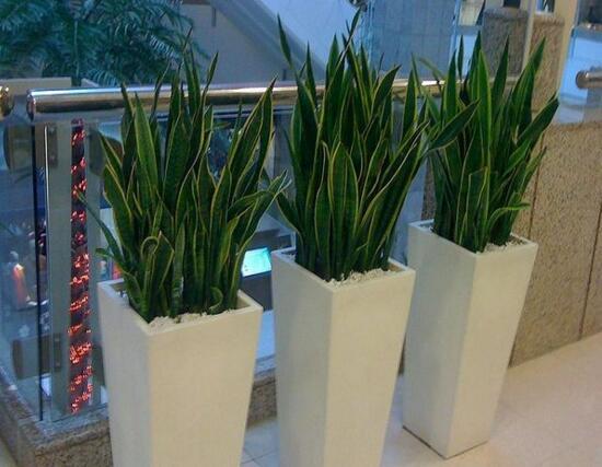虎皮兰用什么土种植,肥沃的砂质土壤种植最好