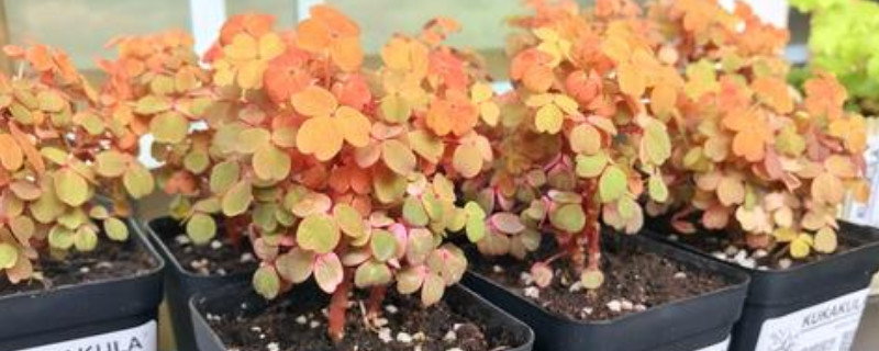 小红枫酢浆草夏天怎么养  通风透气并有散光照射