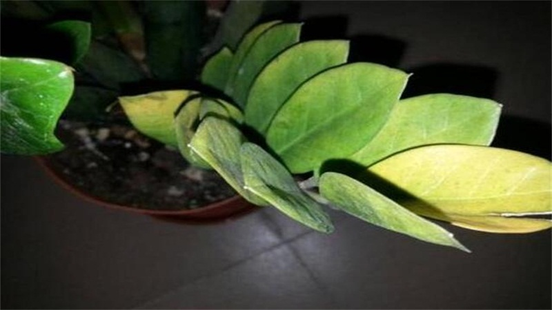 金钱树叶子发黄怎么办?可能是浇水过多导致