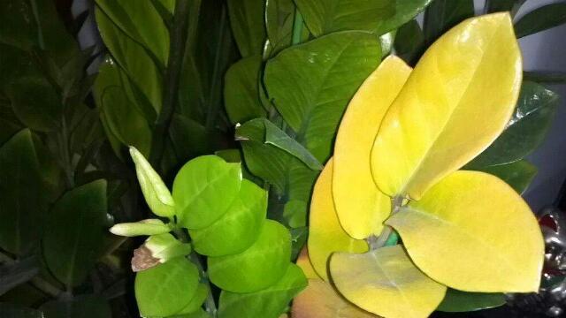 金钱树叶子黄了要剪吗 适当修剪能促进新叶的萌生