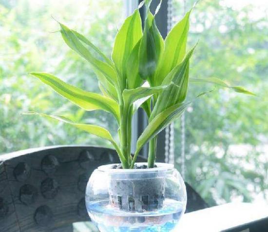 金边富贵竹可以水养吗