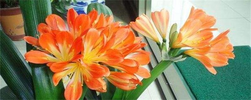 君子兰是兰花吗 是石蒜科一种植物