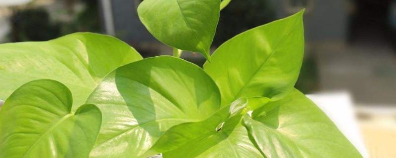 夏天绿萝几天浇水一次?要根据土壤的干湿状况