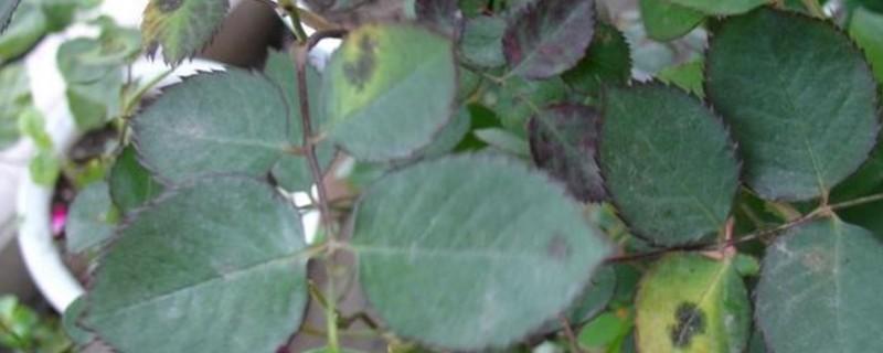 夏天月季叶子发黄 可能是光照过强造成的