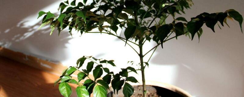 幸福树放在客厅好吗 客厅的散光环境利于生长