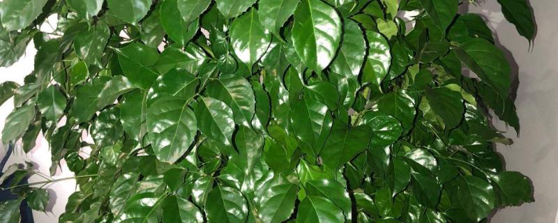 幸福树不长新叶子怎么办?保证土壤处于湿润状态