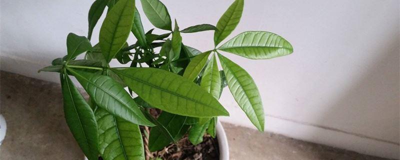 发财树的养法 提供疏松透气的微酸性土壤