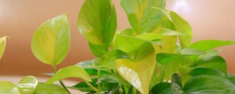 绿萝黄叶怎么处理 将严重的黄叶修剪掉