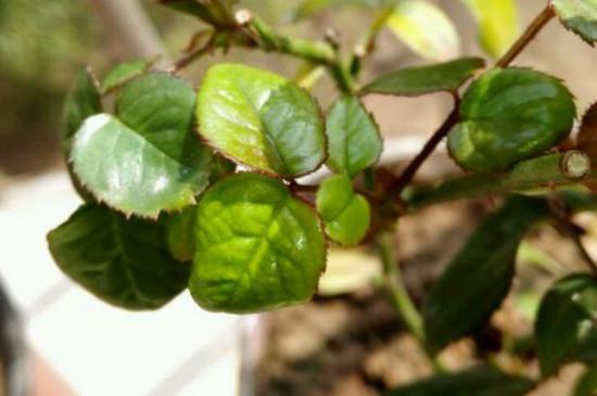 硫酸亚铁能浇月季吗