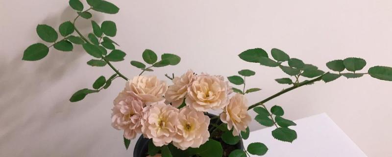 月季剪花从哪剪 一般从花柄部位开始修剪