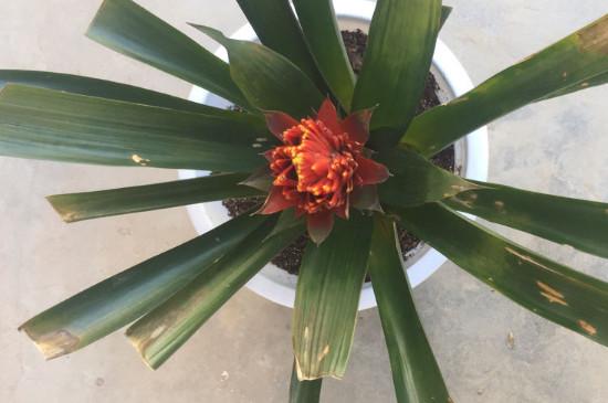 鸿运当头叶子发黄发焦,可能与光照、水分和肥料有关