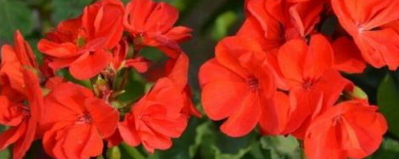 天竺葵的养殖方法和注意事项 生长旺盛需每隔10~15天施一次液肥
