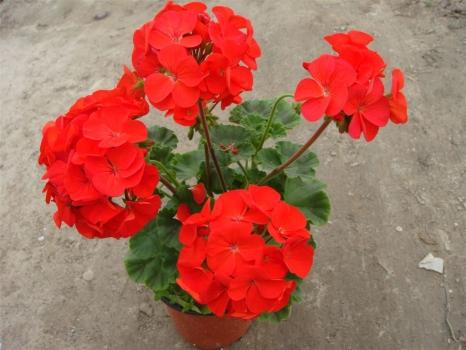 天竺葵的养殖方法和注意事项 生长温度为16~24℃