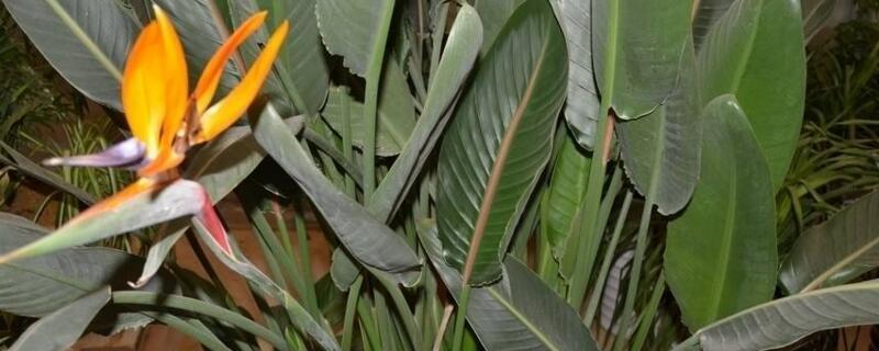 鹤望兰用什么肥料?一般是要选择有机肥或者是复合肥