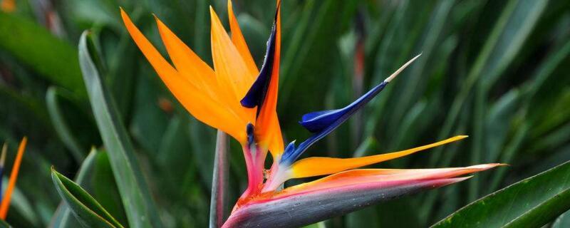 鹤望兰什么时候开花?一般在每年冬季开花