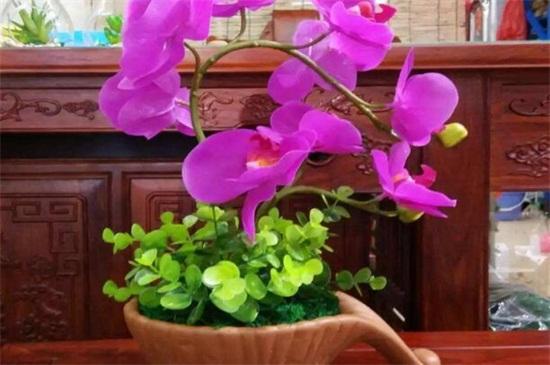 蝴蝶兰气生根能繁殖吗