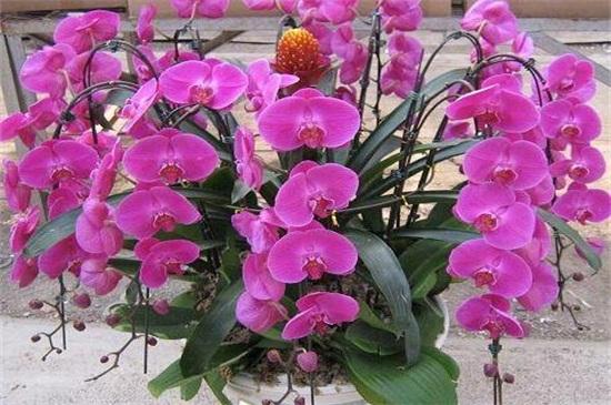蝴蝶兰最名贵的品种