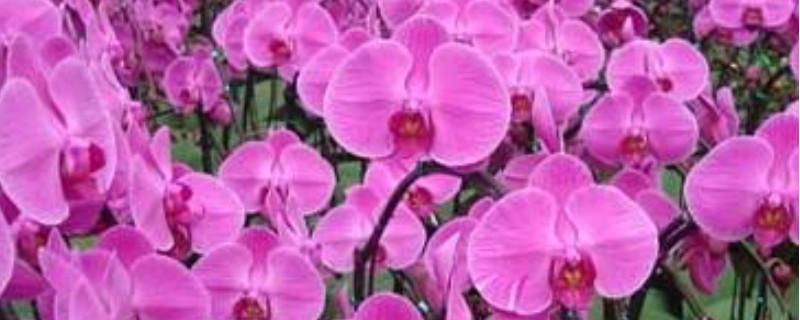 蝴蝶兰花苞干瘪还能恢复吗 将干瘪的花苞摘除