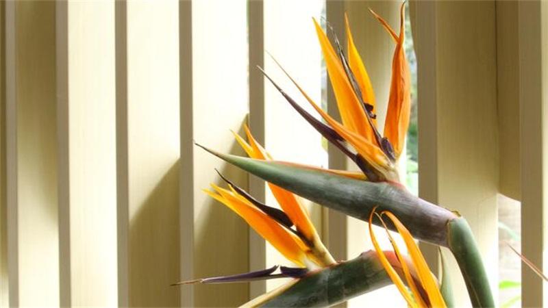 鹤望兰不开花怎么办,可能是因为强光晒伤或者是光照不足