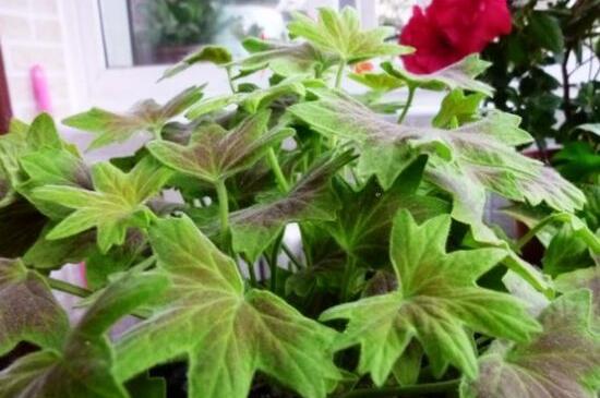 天竺葵什么时候修剪?修剪有利于植株生长和开花量