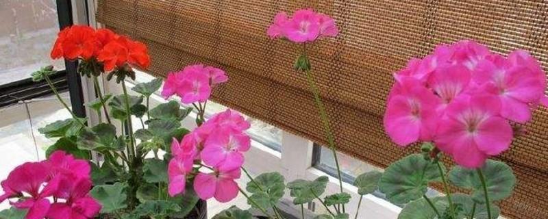 天竺葵扦插要生根粉吗?使用生根粉大概一个月就生根