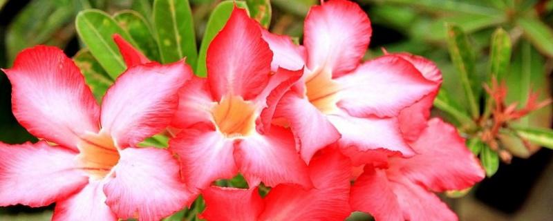 沙漠玫瑰用什么土  排水能力较强
