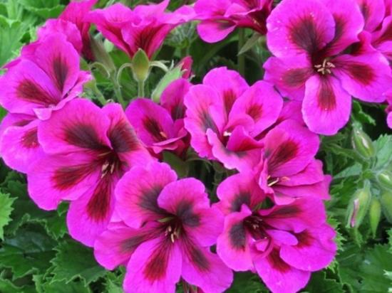 怎样科学栽培大花天竺葵 常年保持18℃-25℃