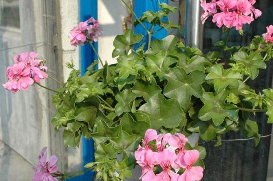 天竺葵可以水培吗?每两天要给植株换一次水