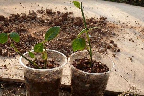 天竺葵扦插怎样生根快?建议在24~32℃的温度下扦插