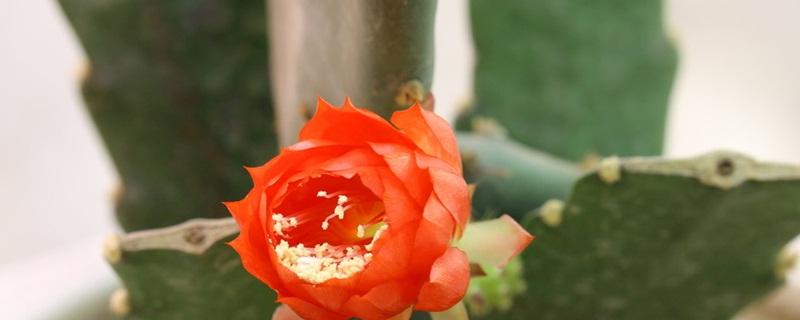 怎么使令箭荷花多开花?喜欢高温湿润的生长环境