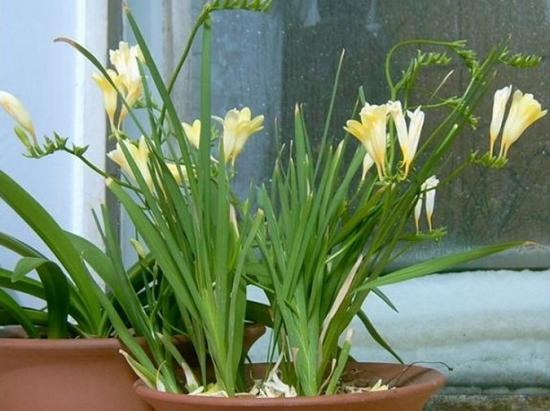 小苍兰无土盆栽应注意些什么 小苗定植后只需浇清水