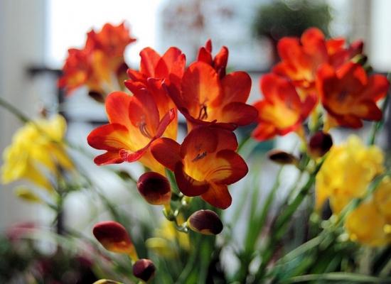 怎样使小苍兰在元旦或春节期间开花 冷藏处理
