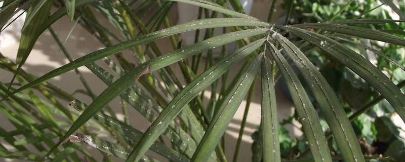 凤尾竹为什么出现干叶 可能是缺少水分或光照过强导致