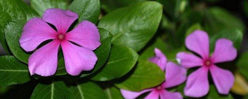 紫罗兰一年开几次花 通常紫罗兰在4~5月开花