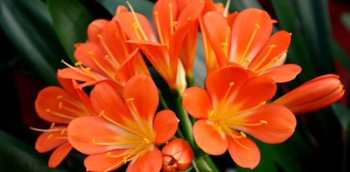 君子兰怎么养开花