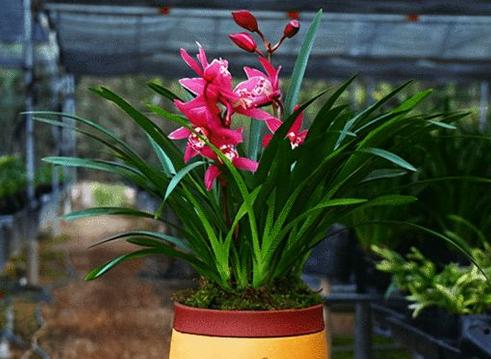 一年四季都开花的植物有哪些 有高贵典雅的四季兰花