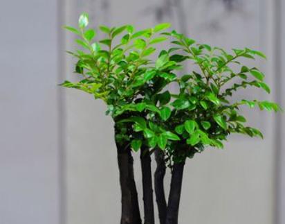 小叶紫檀怎么养 每日都要保证充足的光照